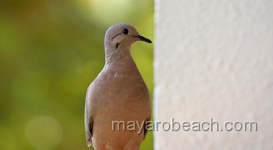 Dove - Tobago