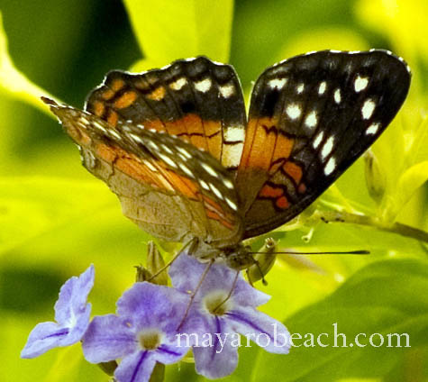 A butterfly from St. Augustine, Trinidad and Tobago hopes the photographer would hurry up since life is short.