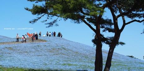 茨城國營日立海濱公園 粉蝶藍色浪漫花海