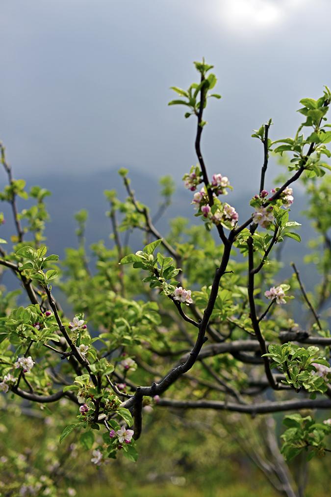 DYO The Organic Village Resort   Akanksha Redhu   apple blossoms