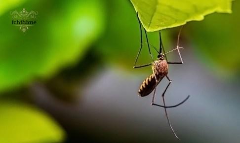 蚊 アイキャッチ画像
