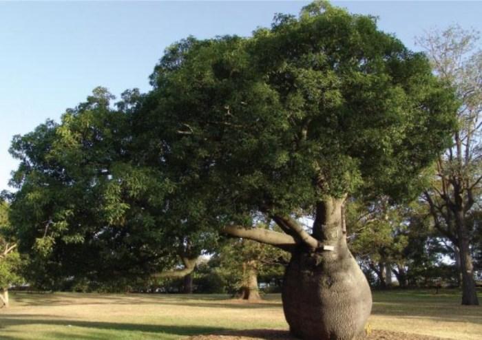 Arbre-boutelle-en-Australie