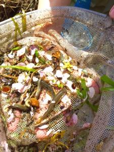 川遊び 魚