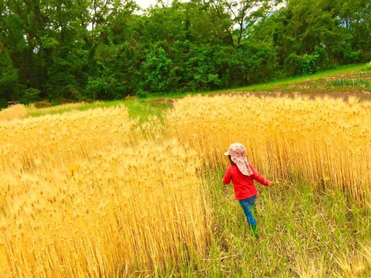 麦畑の迷路