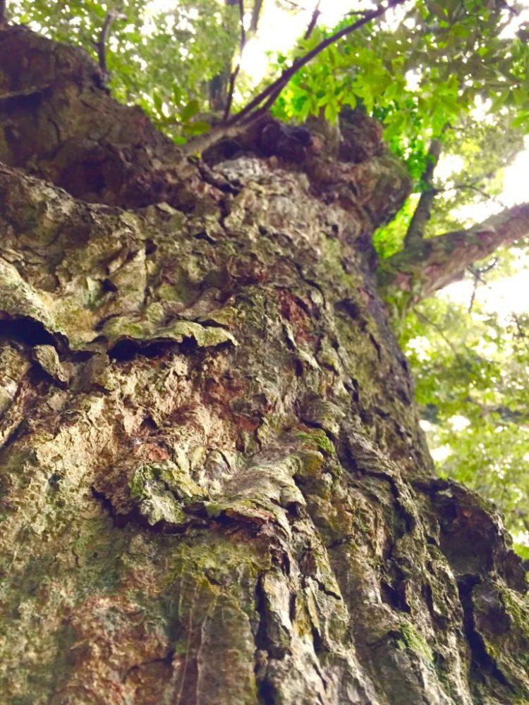 イチイガシ樹皮