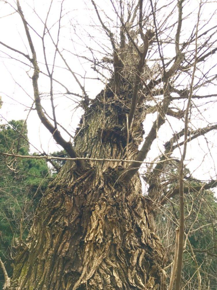 ポプラの巨木。