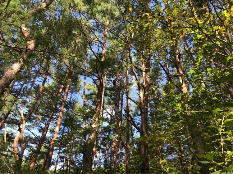 アカマツ林。