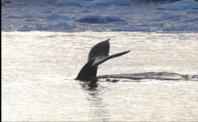 Рідкісне явище: кити-горбачі завітали в гості до українських полярників – фотогалерея