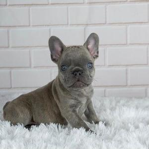 blue french bulldog, french bulldog blue, blue fawn french bulldog, blue merle french bulldog, blue french bulldog for sale