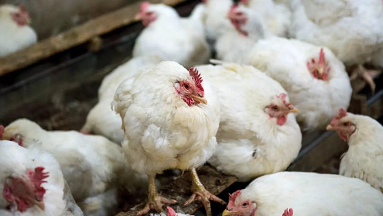 أول حالة إصابة البشر بـ إنفلونزا الطيور H5N8 تُسجل في روسيا