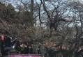 上野公園桜開花NHK取材