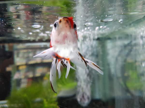 Golden fish (金魚), akihikogoto.com