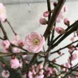 「いきなり桃林」なアレンジメント(2/19〜)桃の花言葉「天下無敵」は、あのキャラのイメージ?
