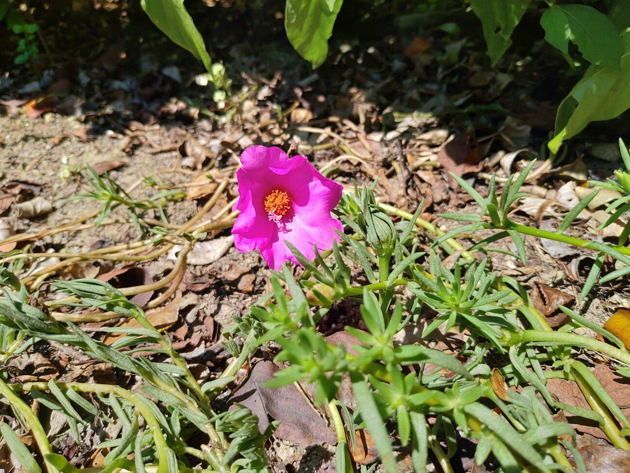 ZenFone5Zで撮った写真(花)