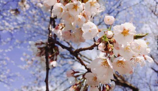 【お花見2017】満開まであと少し!北秋田市鷹巣中央公園の桜