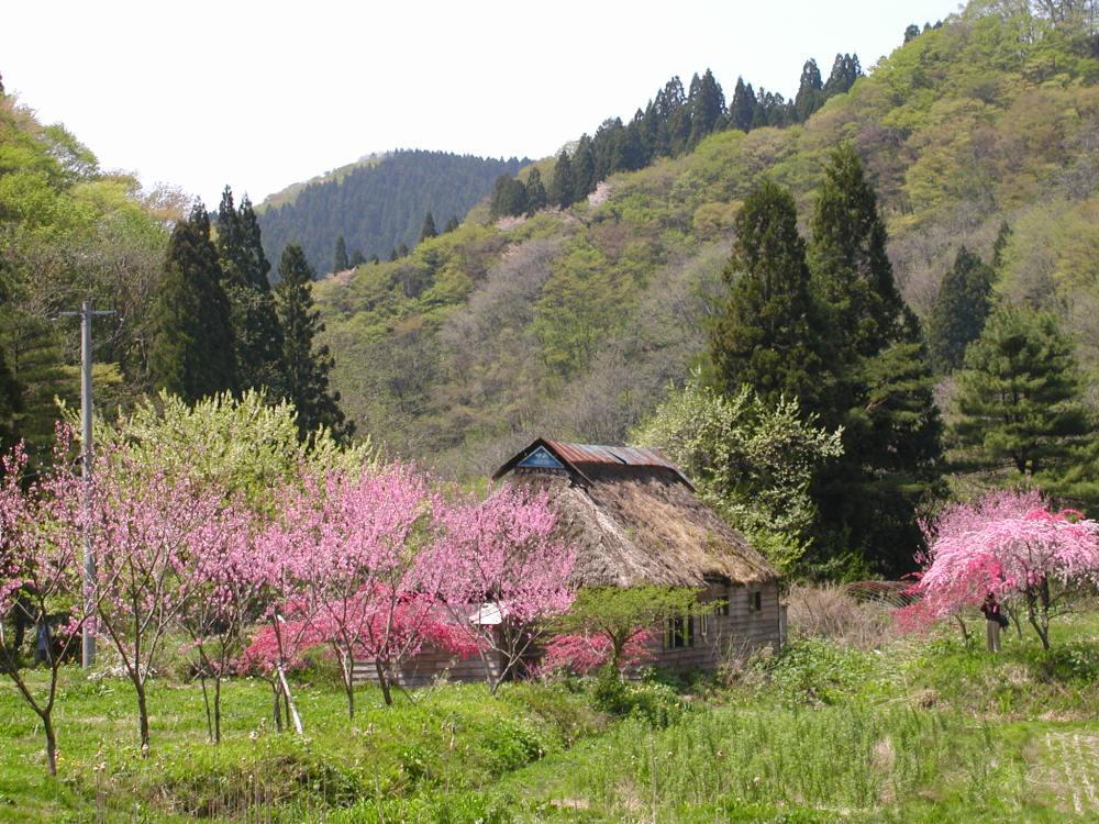Basho's peach blossoms (2/3)