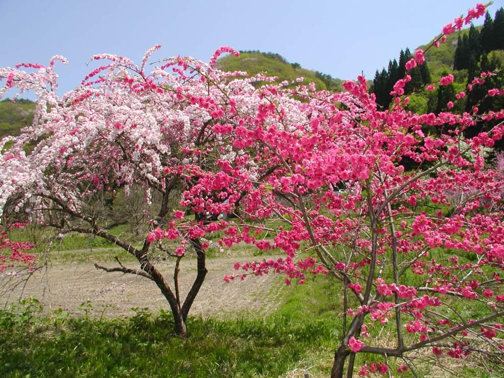 Basho's peach blossoms (1/3)