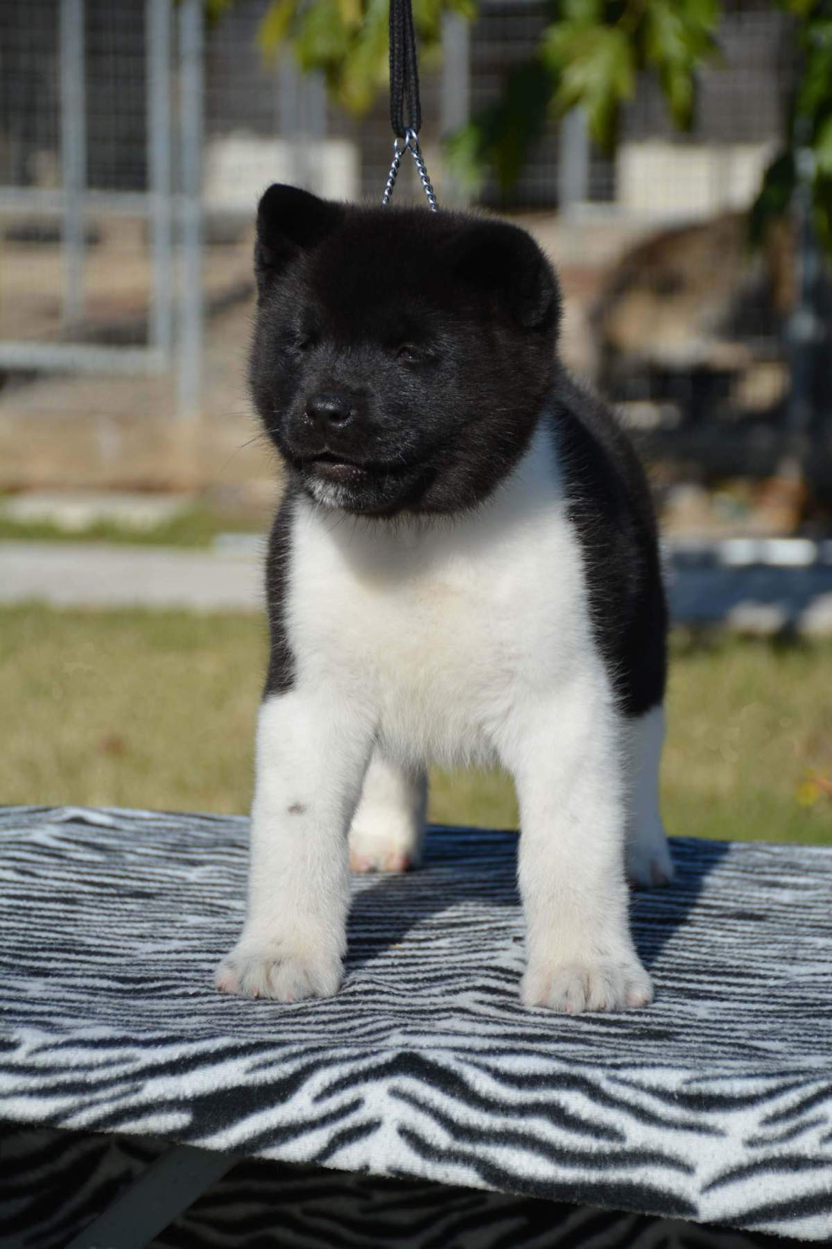 akitas puppies 2017