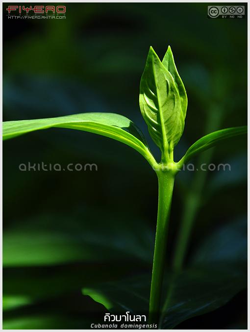 คิวบาโนล่า, คูบาโนลา, Cubanola, domingensis, Portlandia, ไม้ดอกหอม, ไม้แรร์, ไม้หายาก, ไม้ดอก, ไม้พุ่ม, ไม้ประดับ, ใบสวย, ดอกไม้สีเหลือง, Campanita