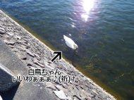 富士周辺アタック白鳥ちゃん02