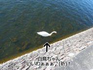 富士周辺アタック白鳥ちゃん04
