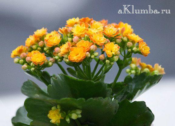 Каланхоэ: виды, 15 фото, полезные свойства каланхоэ и ...