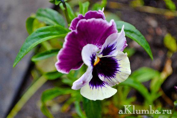 Многолетние цветы для сада: 30 фото цветов многолетников