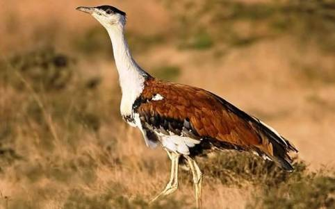 Only one female Great Indian Bustard left in the Solapur sanctuary: BNHS -  India News