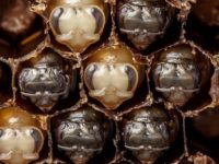 Pogledajte rađanje i razvoj pčele u 60 sekundi VIDEO