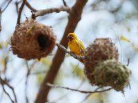 Zanzibar: Ptice pletilje i njihova gnijezda mala su čuda prirode