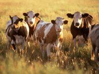 """Uoči Kurban-bajrama: """"Merhamet"""" donirao krave porodicama u Prači i Tešnju"""