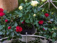 Uzgoj mini ruža u posudama – jednostavno i dekorativno