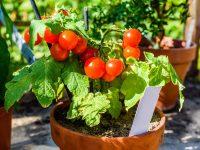 Urbana poljoprivreda: Gajenje čeri paradajza u saksiji na balkonu