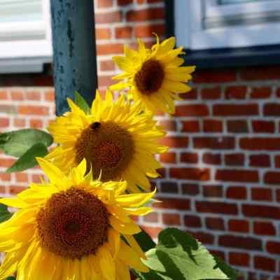 Drei Sonnenblumen schräg hintereinander, in der mittleren parkt eine dicke Hummel