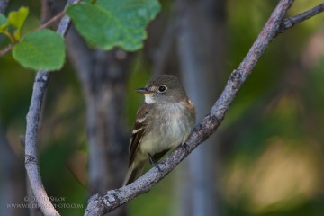An Alder Flycatcher perches in an alder shrub near Fairbanks AK, USA.