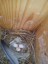 swallow eggs_May 19th