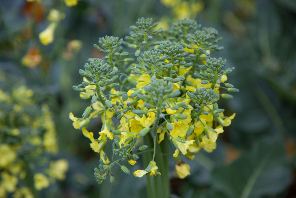 Broccoli i blom