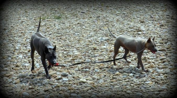 Thai Ridgeback Dog Mashima & Shadow