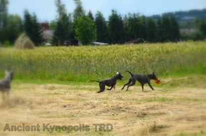 Thai Ridgeback Dog puppy