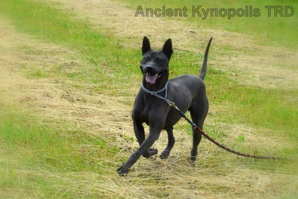 Thai Ridgeback Dog Kareena Volarius