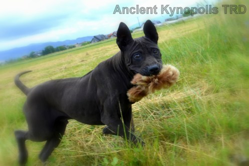 Thai Ridgeback Dog puppy