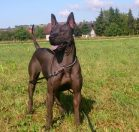 thai ridgeback dog czarny black