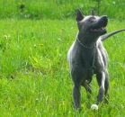 thai ridgeback dog niebieski blue