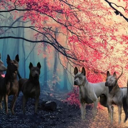 pack of thai ridgeback dogs