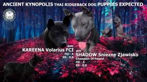 Wciąż dostępne na sprzedaż szczenięta Thai Ridgeback Dog - czekają na swoich nowych właścicieli.