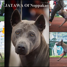 Jatawa Of Noppakao - father of puppies #bluethairidgebackdog #niebieskitajskiridgeback #bluethaidog #niebieskitajskipies