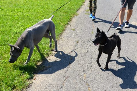 thai ridgeback dogs on the lead
