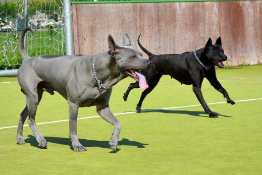 thai ridgeback dog puppies expected