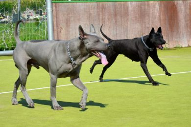 thai ridgeback dog puppies expected