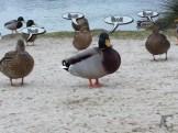 Kastellauner See und die Enten